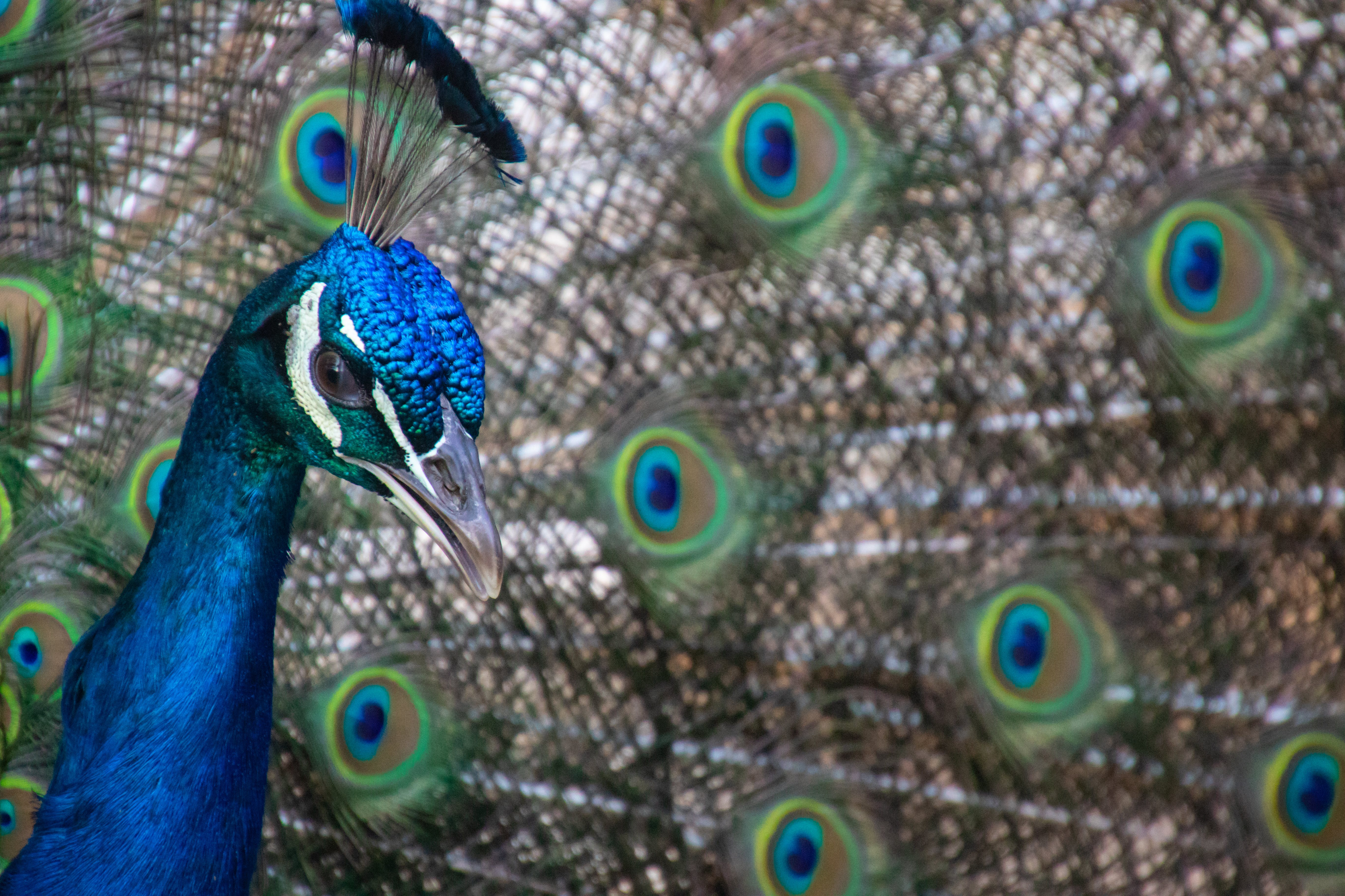 Blue and Green Peacock Close-up Photography