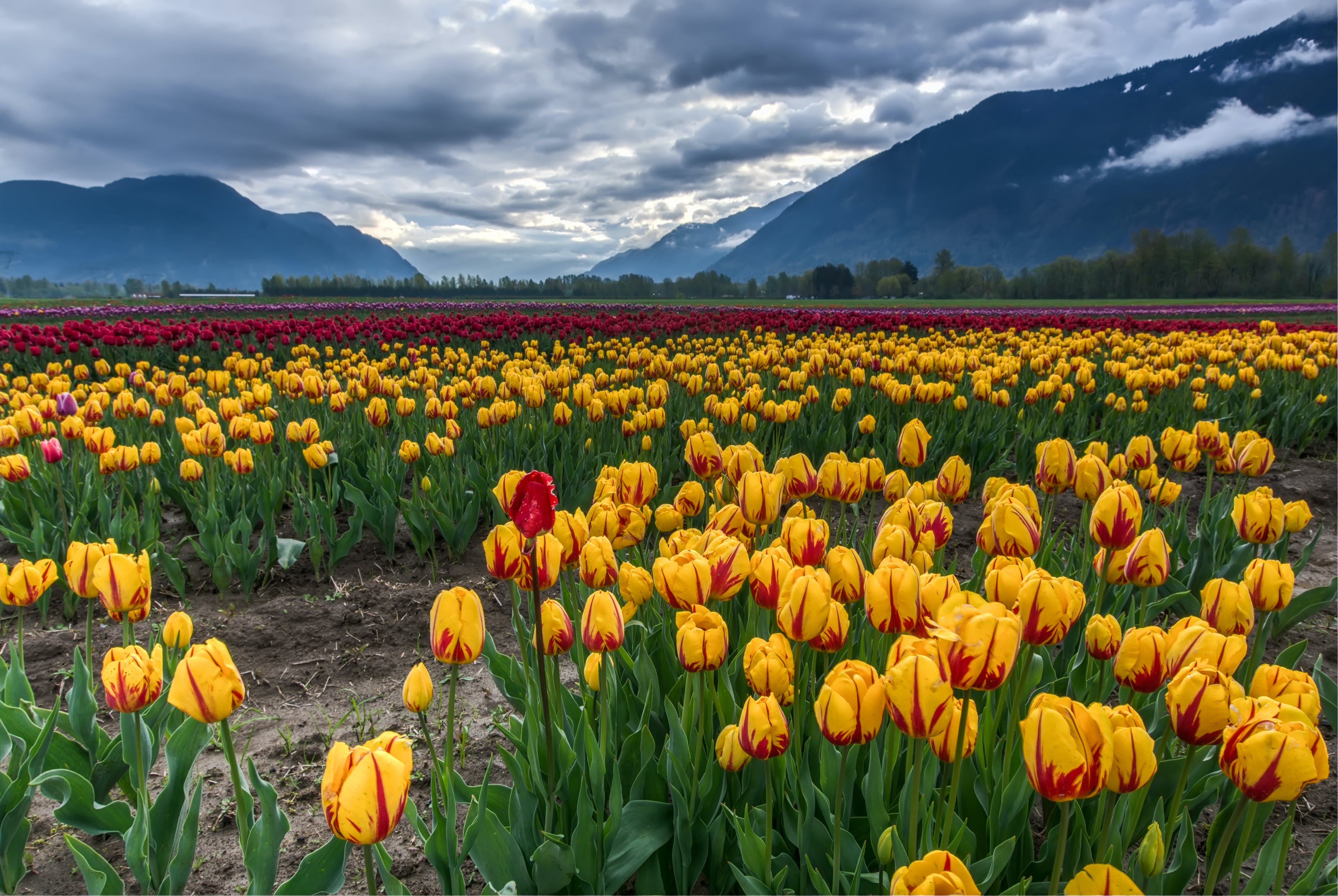 Photo of Field of Yellow and Red Tulips
