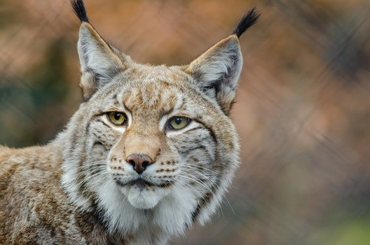 Brown and White Lynx in Close Photography