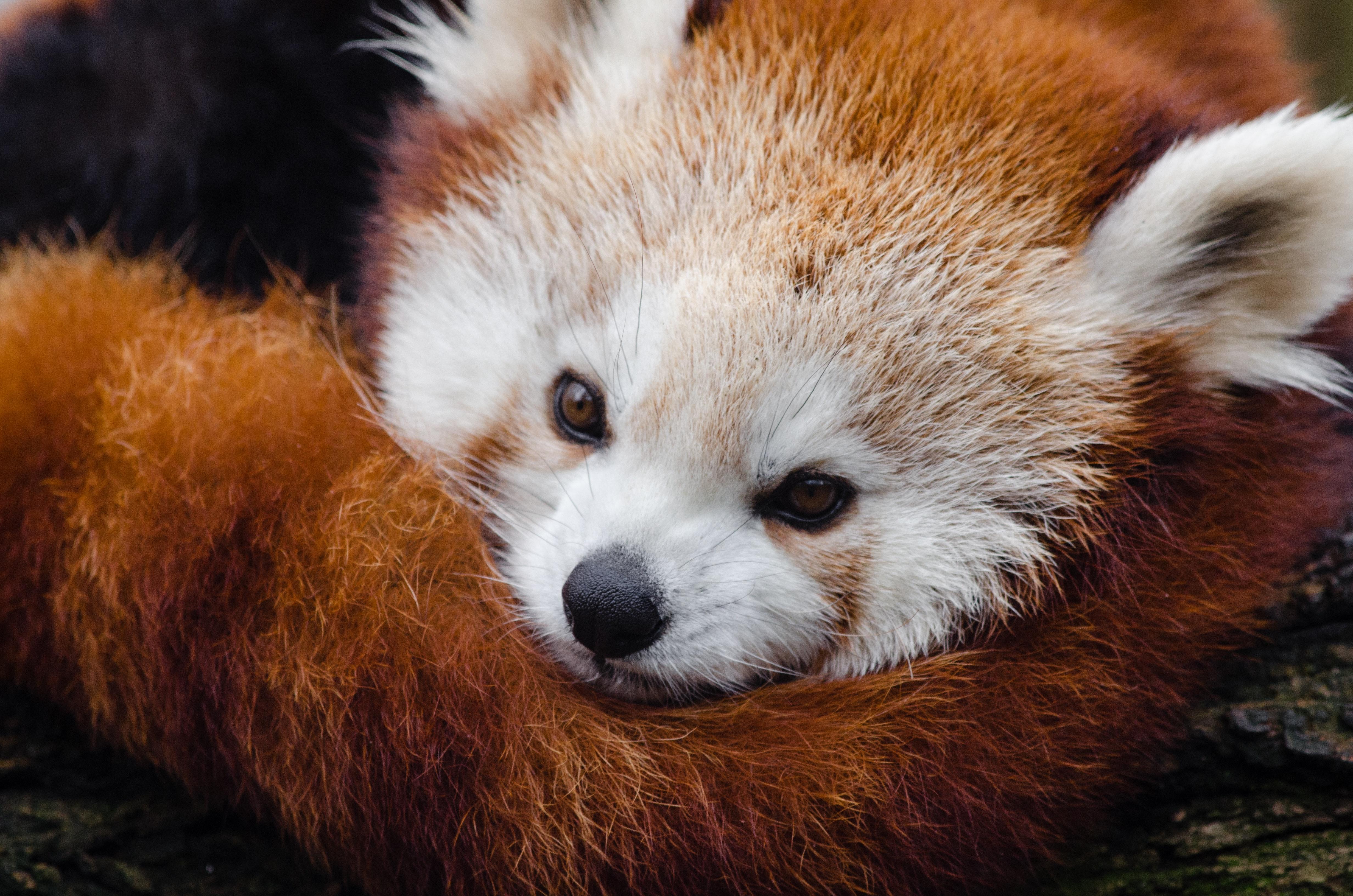 Red Panda Sleeping On Tree Branch 183 Free Stock Photo