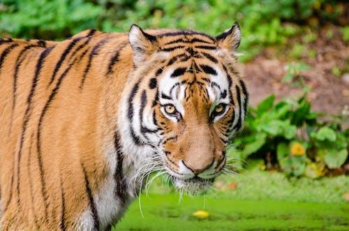 Foto d'estoc gratuïta de animal, gat salvatge, primer pla, safari
