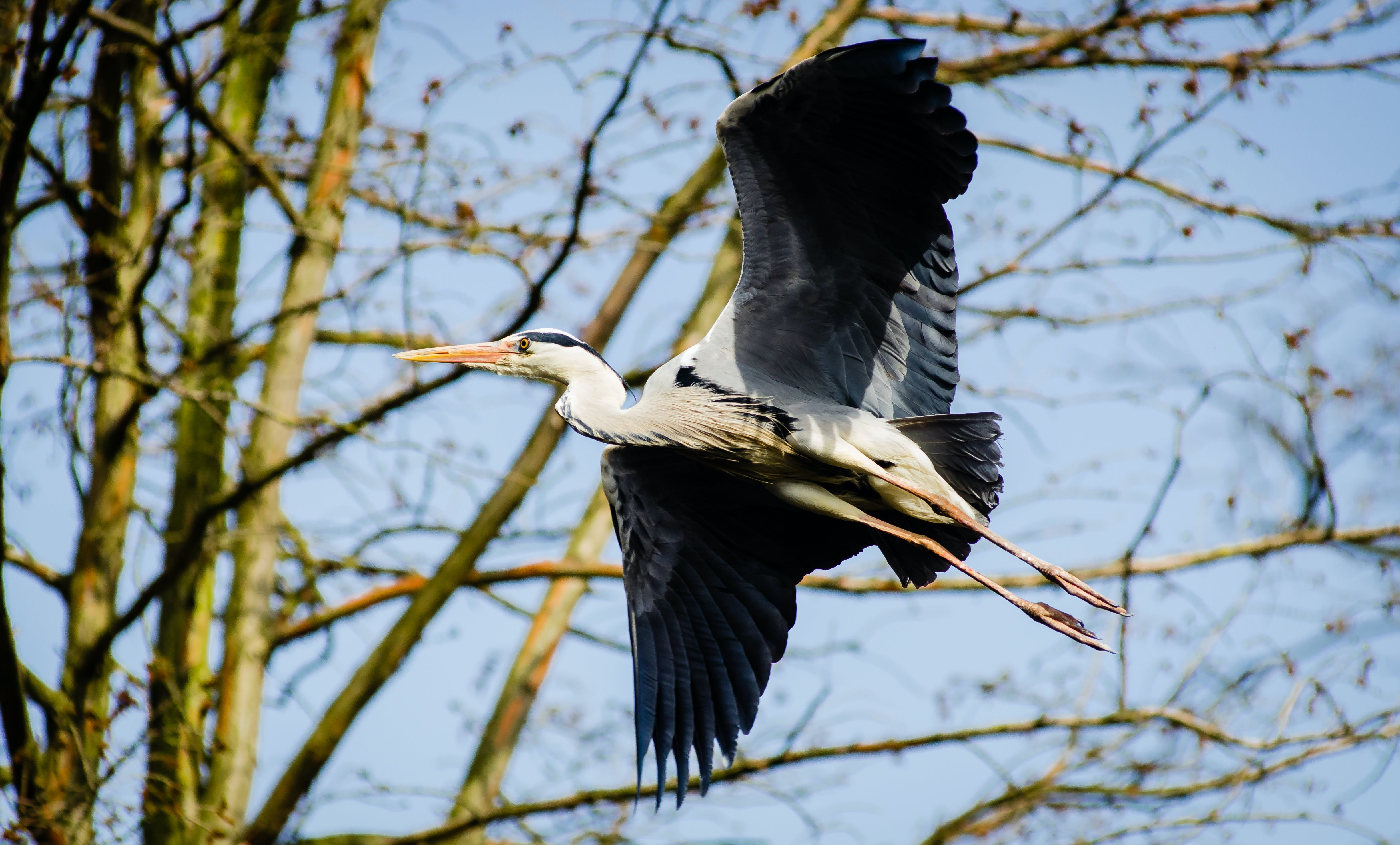 White Black Bird Flying during Daytime