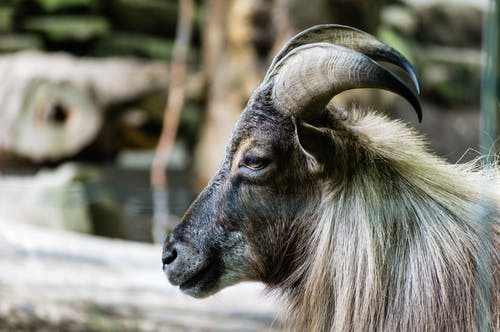 動物, 山羊, 牛角, 特寫 的 免费素材照片
