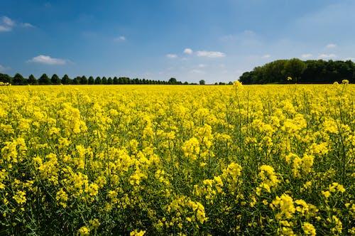 Kostenloses Stock Foto zu bauernhof, blumen, feld, flora