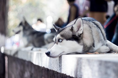 คลังภาพถ่ายฟรี ของ #หมา, สุนัข, ฮัสกี้
