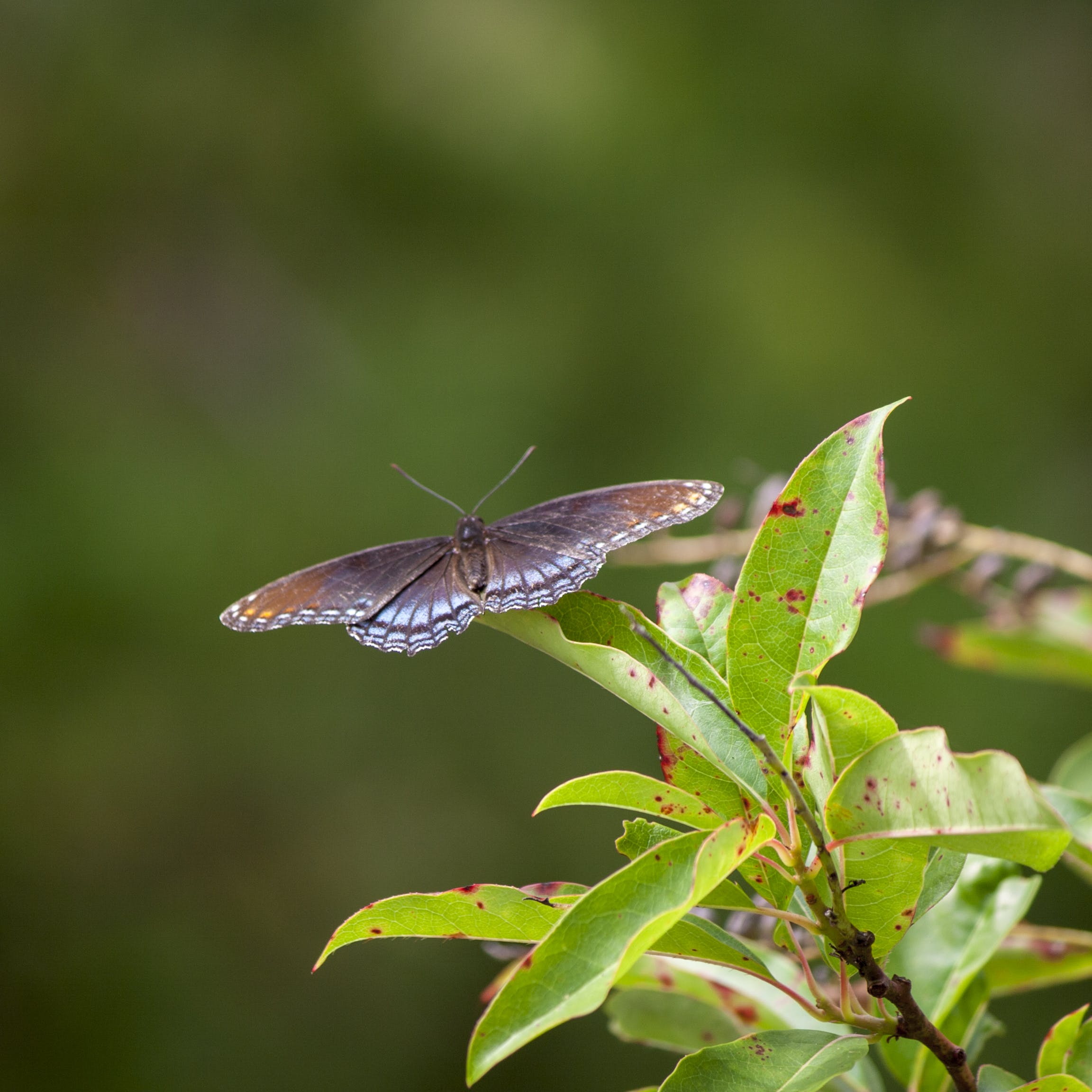 Free stock photo of blue butterfly, butterfly, insect, red spotted purple