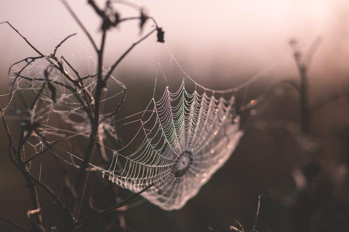 ウェブ, クモの巣, 小枝