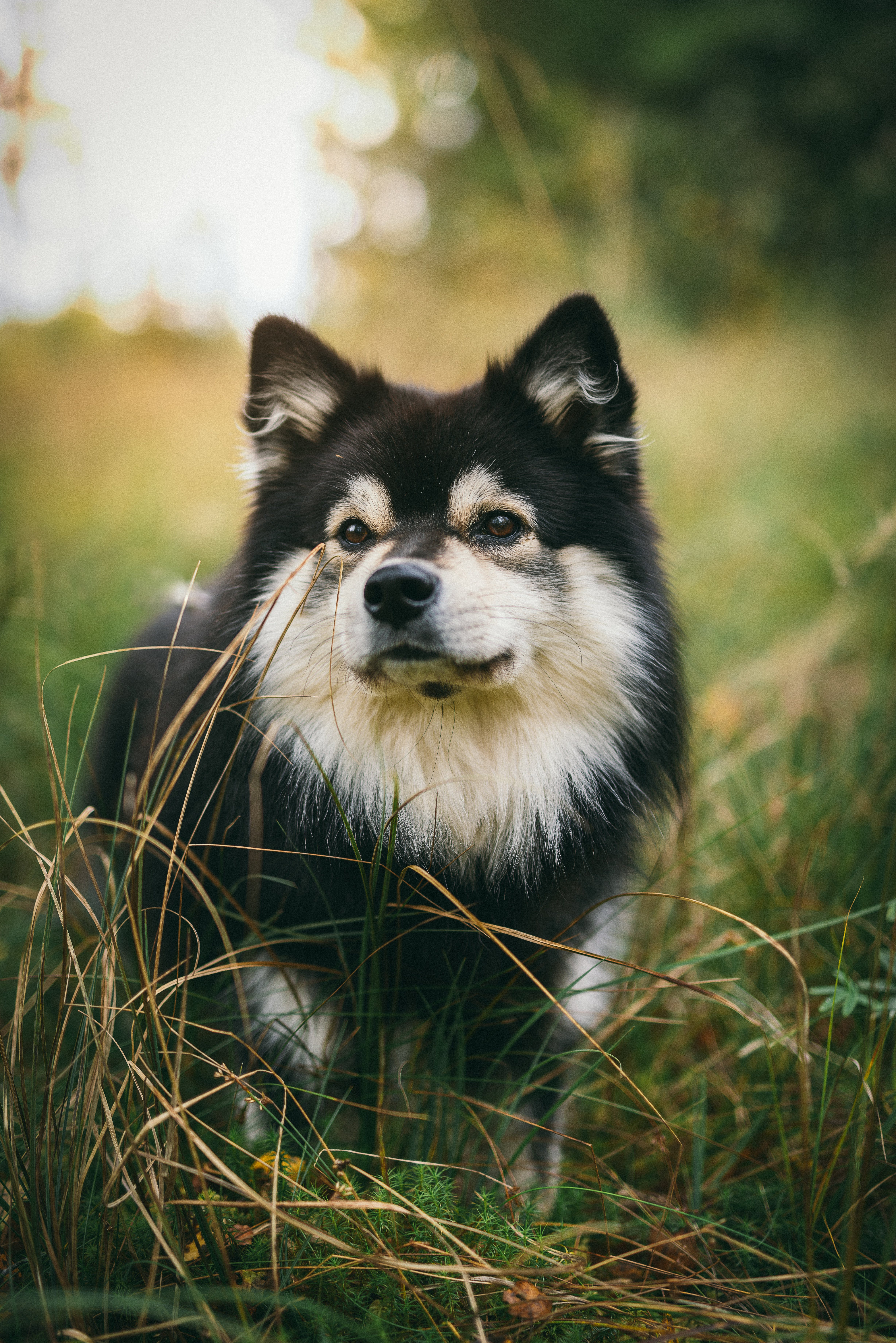 Black and White Finnish Lapphund Standing on Tall Grasses