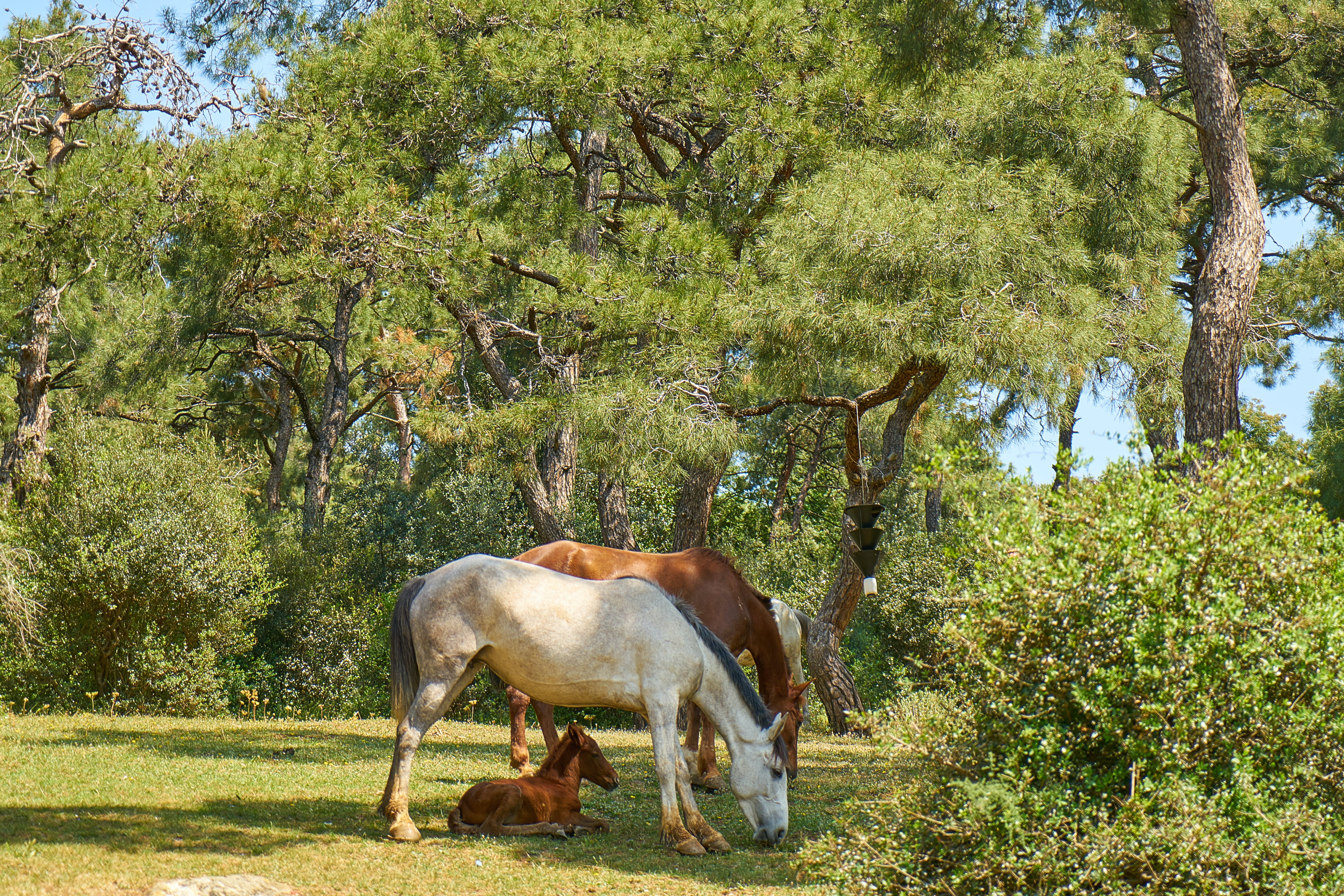 White and Brown Horses Eating Grass
