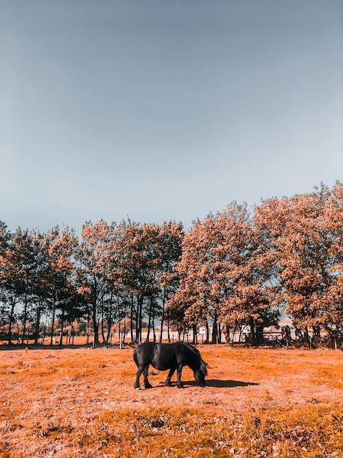 Black Horse Grazing on Grass