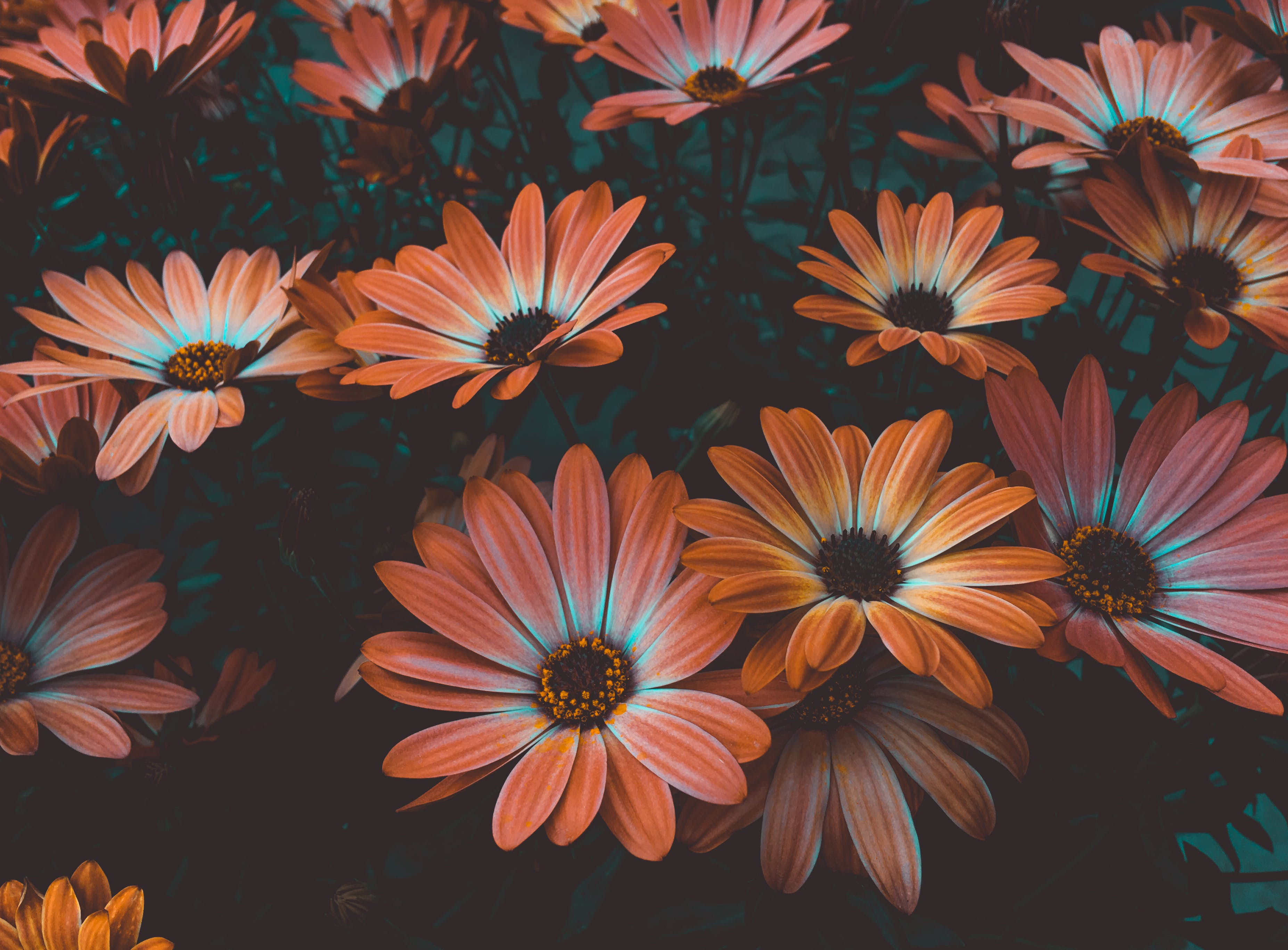 Orange Daisy Flowers in Bloom