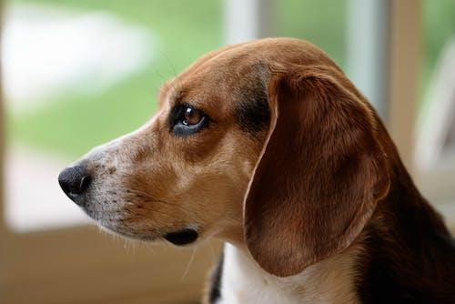 Gratis lagerfoto af beagle, close-up, dyr, hund