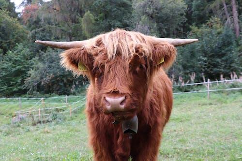 Photos gratuites de vache