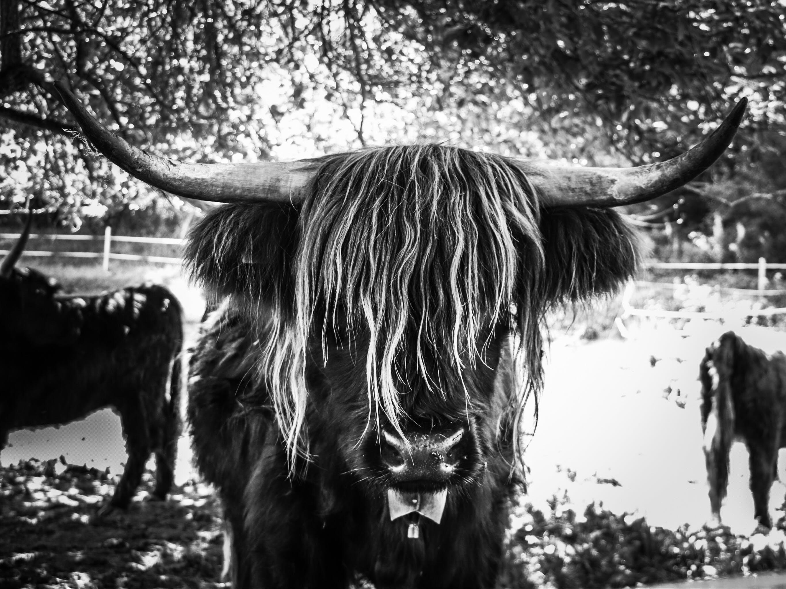 Free stock photo of cow