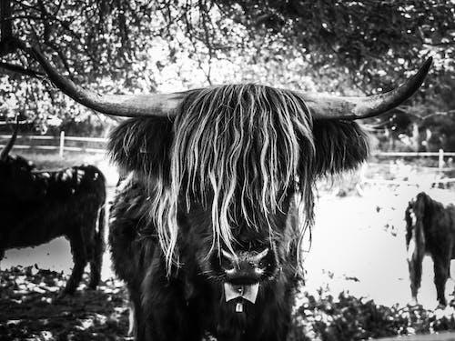 牛 的 免费素材照片