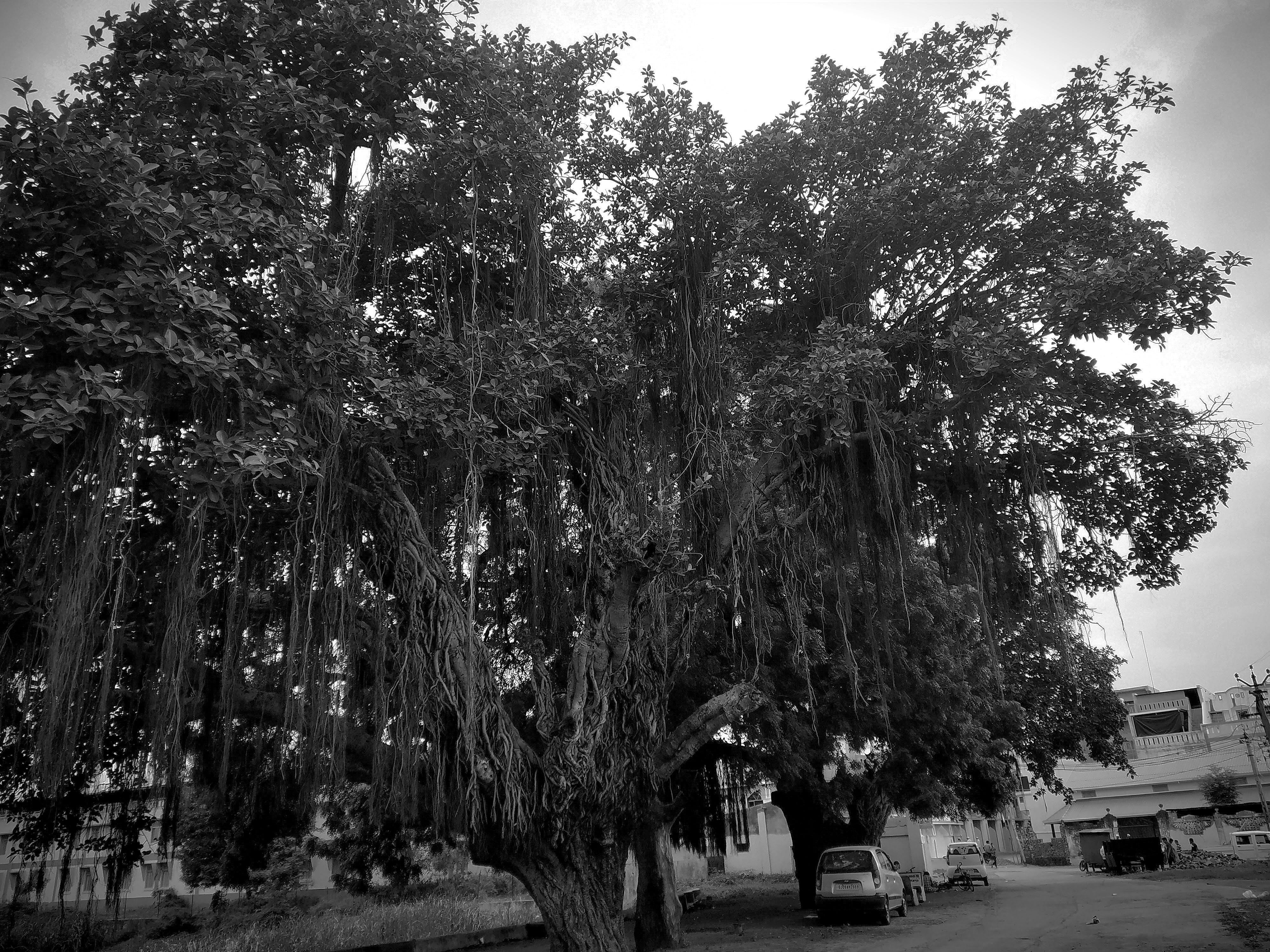 Free stock photo of bamboo trees, black and-white, black female, free