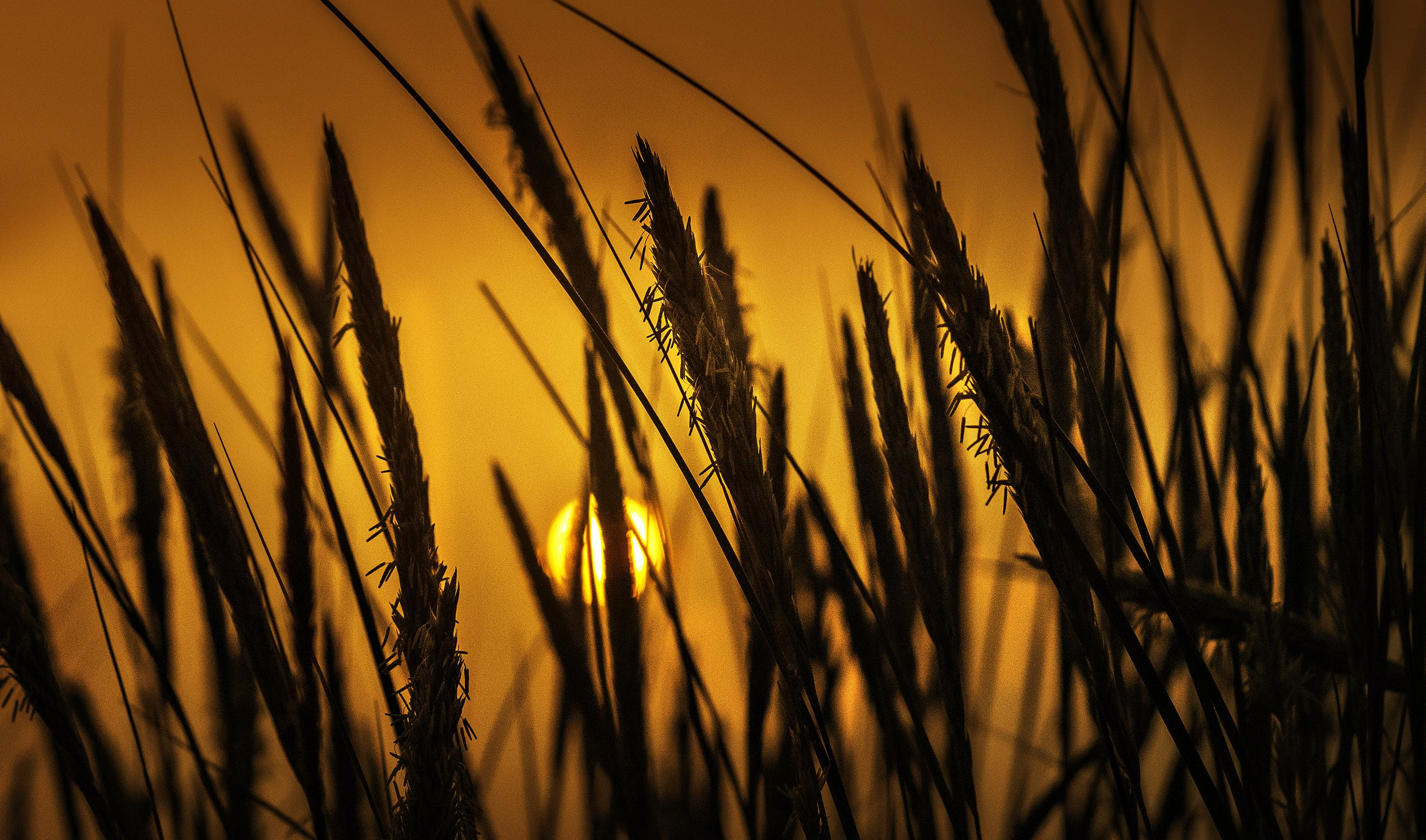 Silhouette Photo Of Wheat Plants