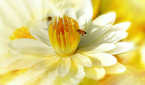 Macro Photography of Bees On Flower