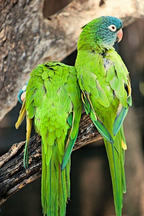 Free stock photo of parrots