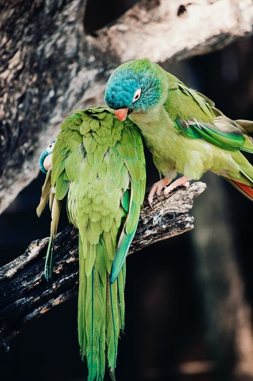 Free stock photo of gree, parrots, tropical
