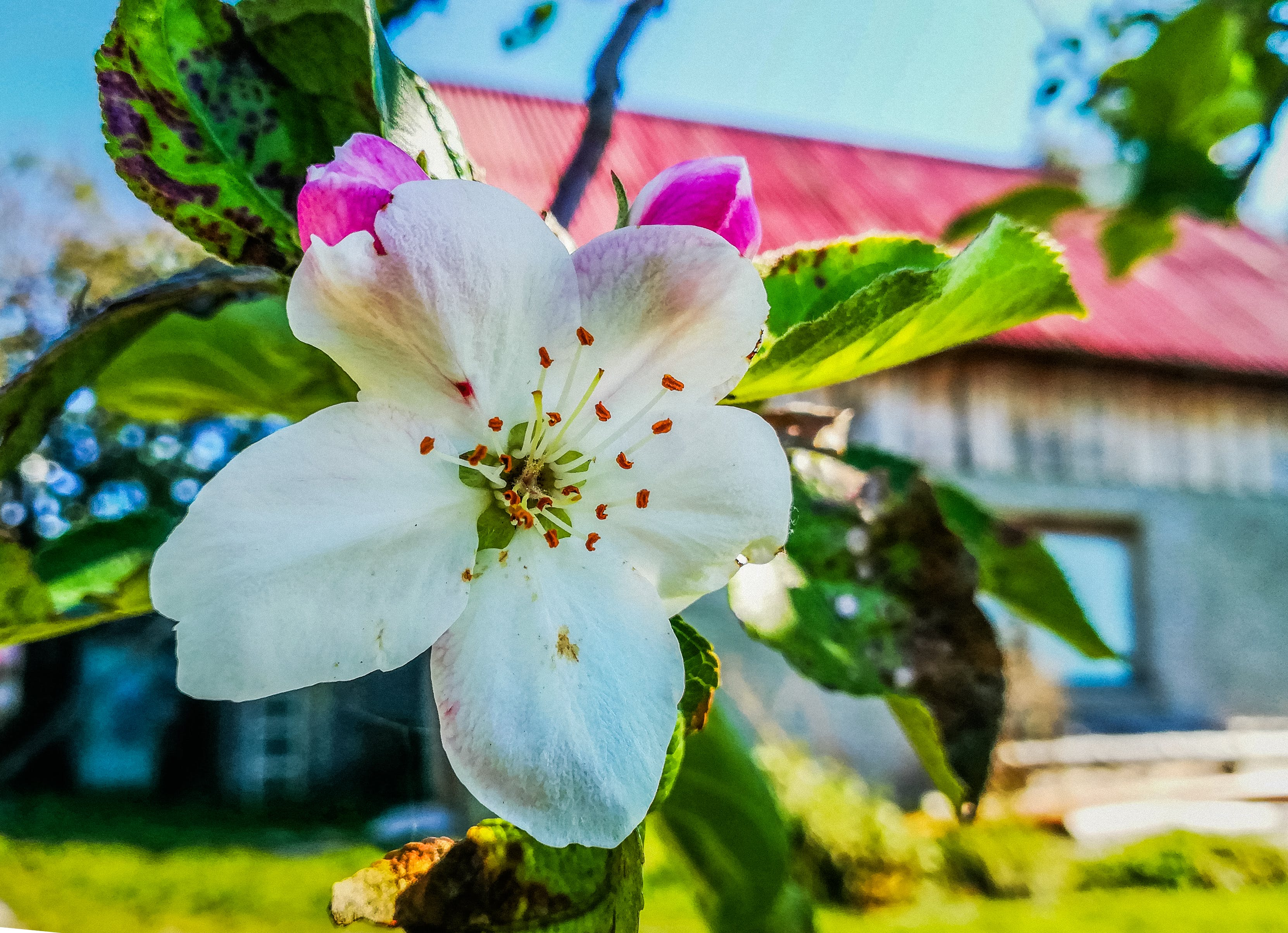Free stock photo of apple-tree flowers, flower, white