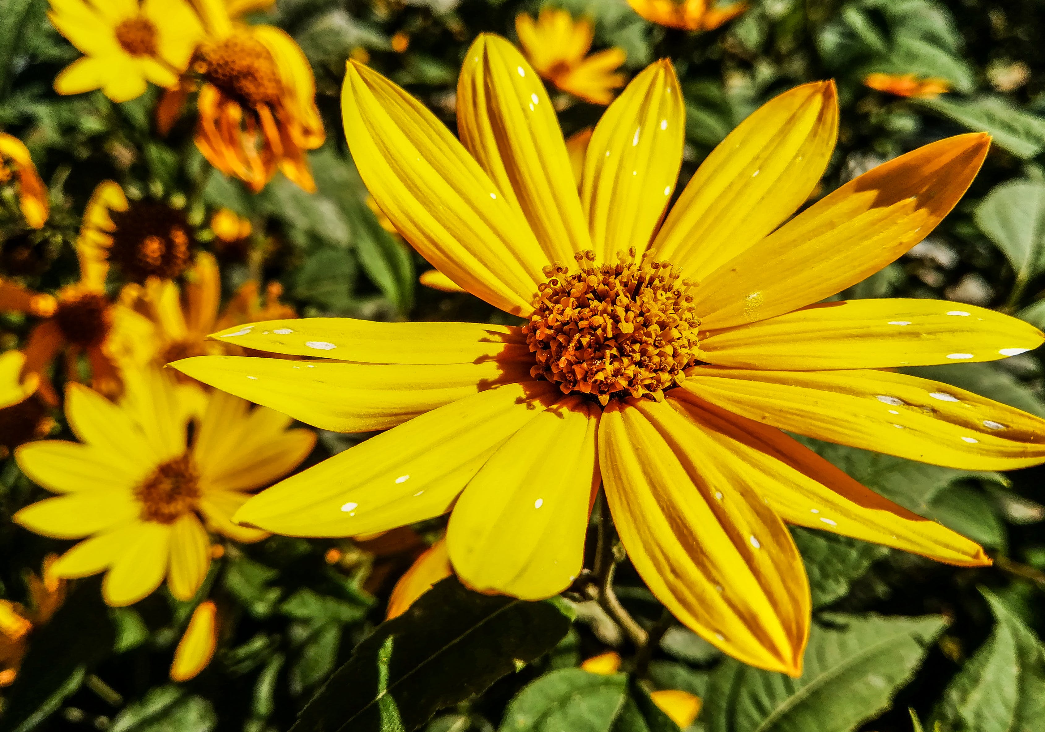 Free stock photo of flower, golden yellow, yellow, yellow flower