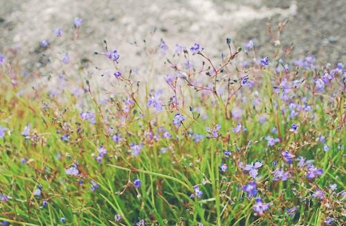 Kostnadsfri bild av grönt gräs, lila blommor, vackra blommor