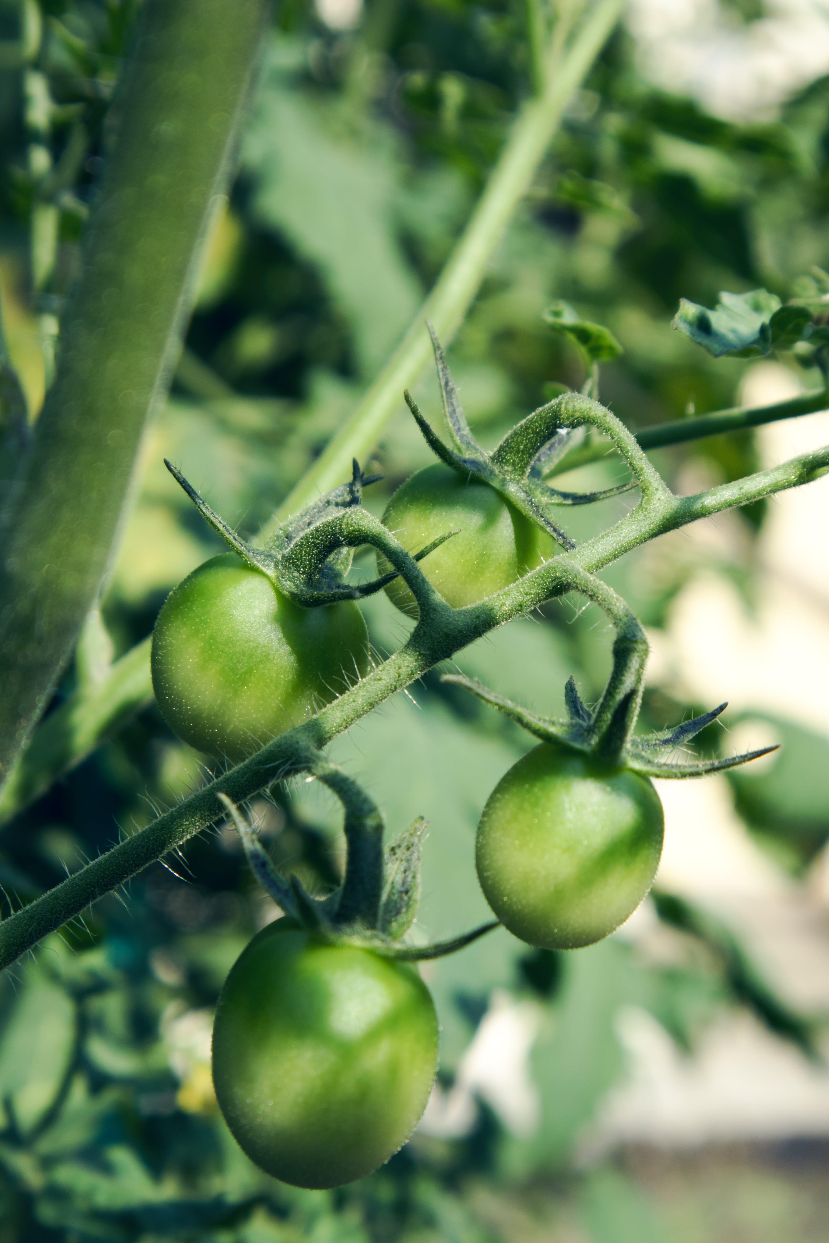 Free stock photo of cherry tomatoes