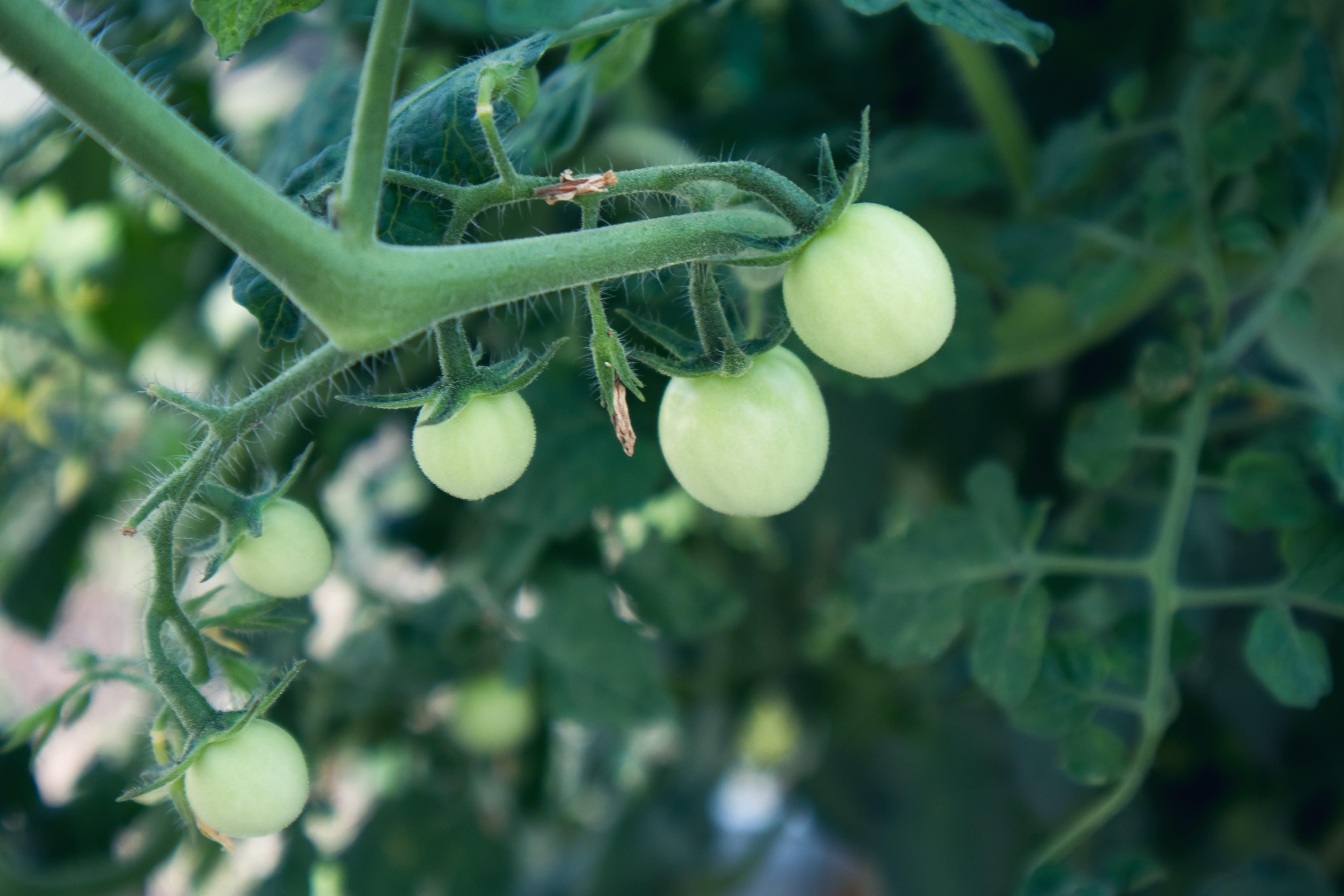 Free stock photo of cherry tomatoes, farm produce