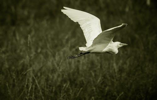 Безкоштовне стокове фото на тему «білий птах, крила, політ»