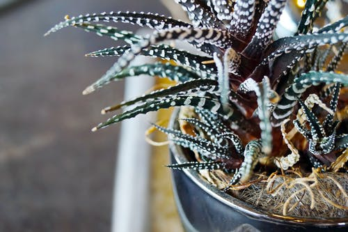 Close-up Photo of Green Zebra Cactus Plant