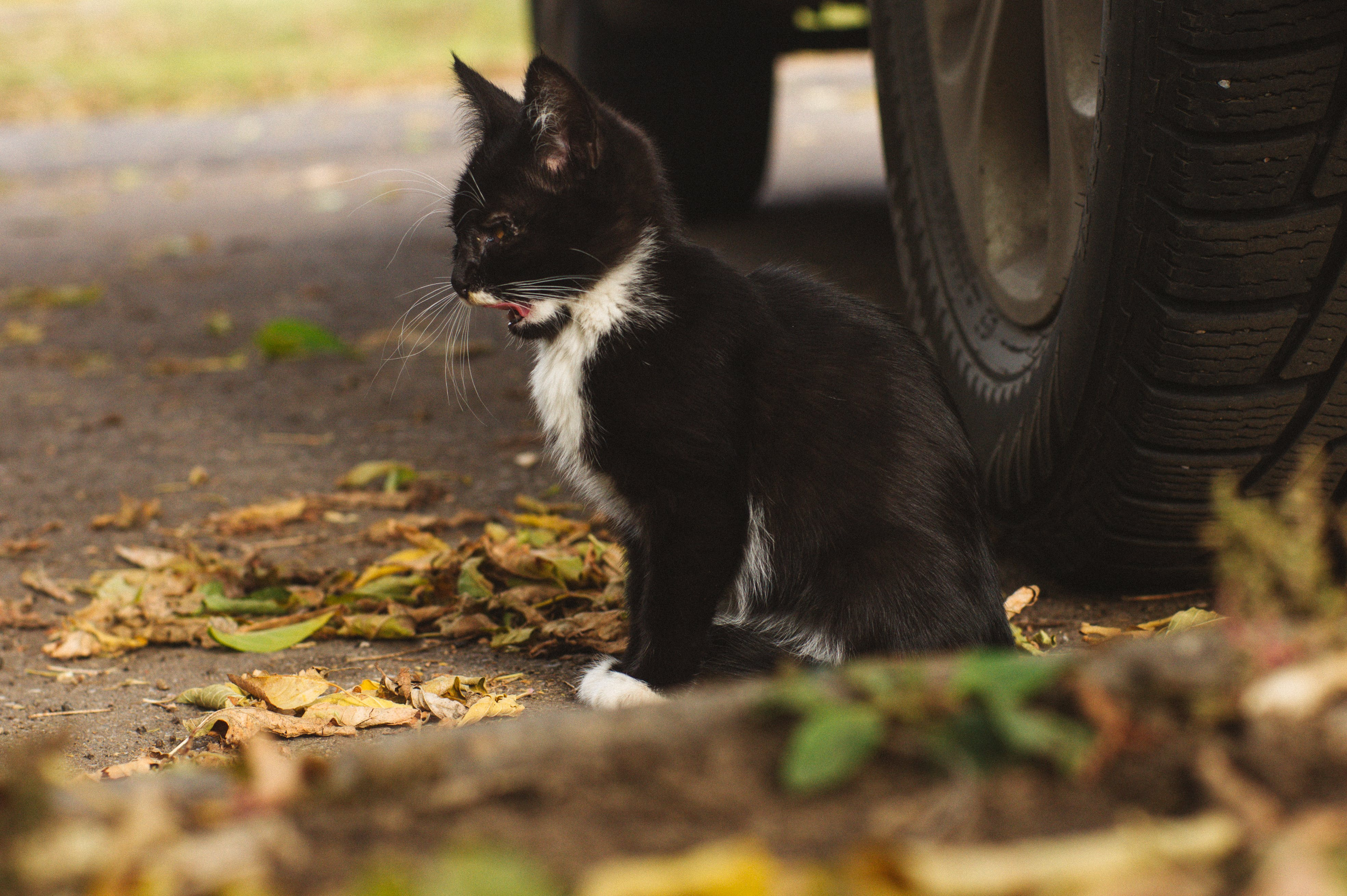 Free stock photo of black, black and white, car, cat