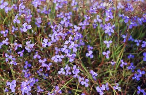 Kostnadsfri bild av lila blommor, vackra blommor