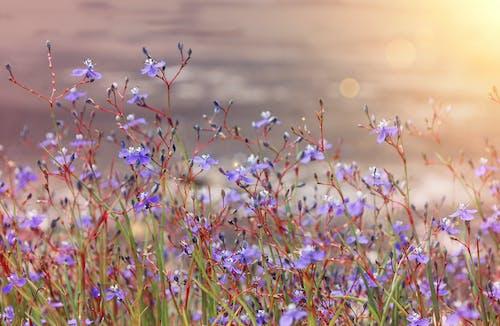 Kostnadsfri bild av lila blommor, morgonsol, vackra blommor
