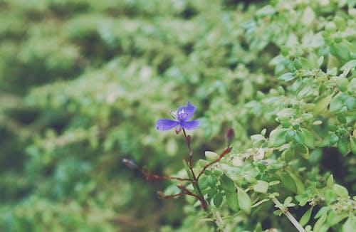 Kostnadsfri bild av grönt löv, lila blommor, vackra blommor