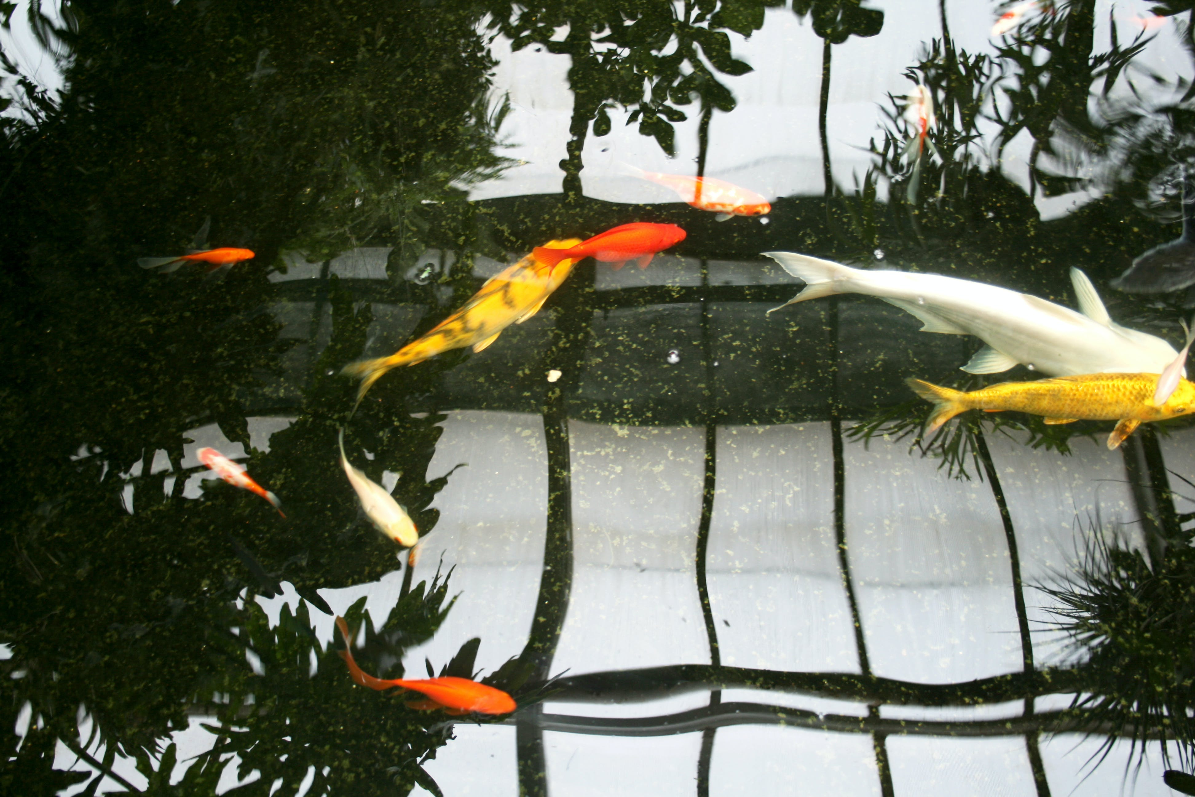 Free stock photo of reflection, fishes, gold fish