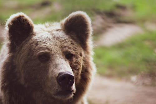 Brown Bear Shallow Focus Photography