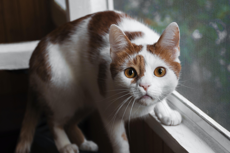 Orange And White Cat On Window