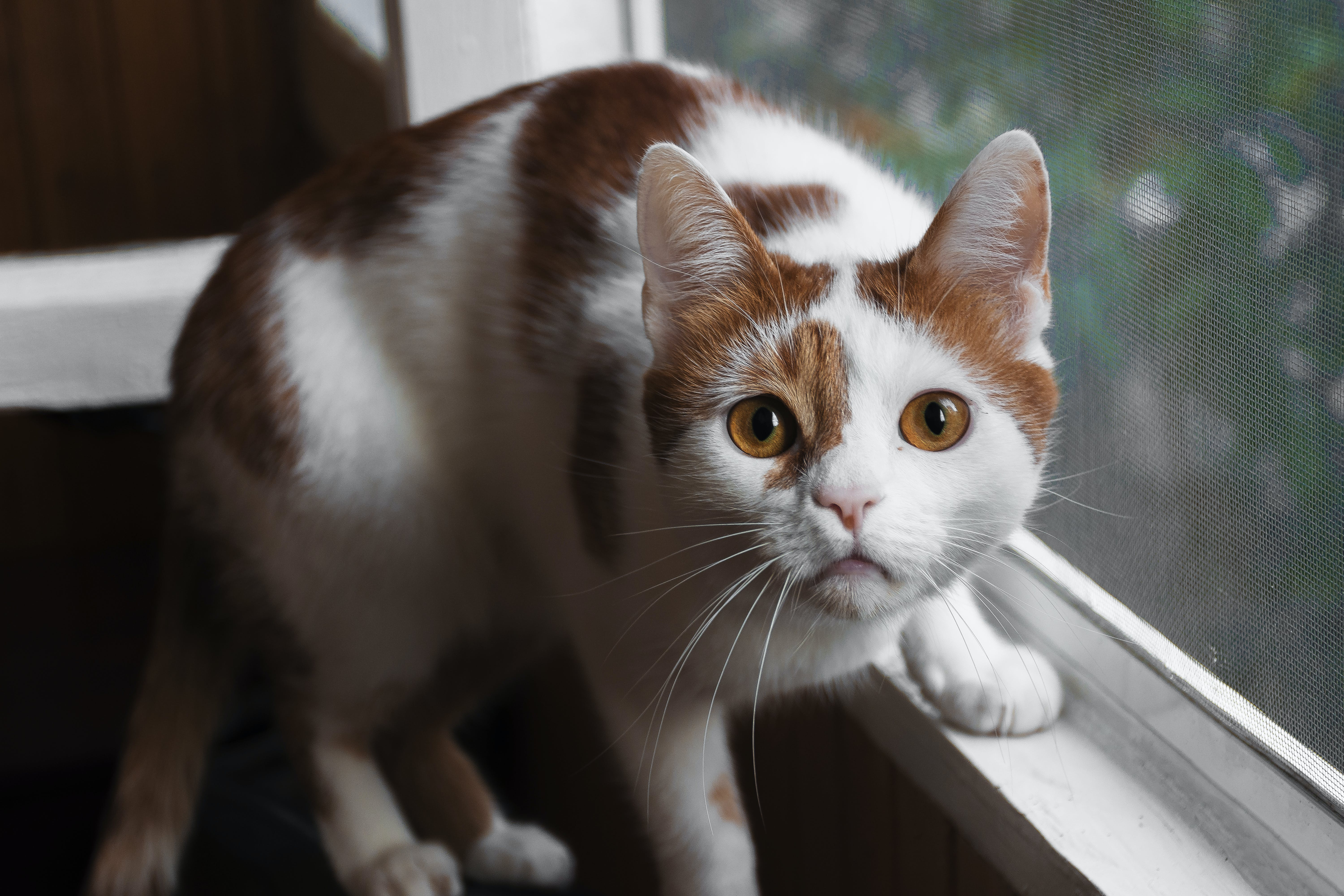 Orange And White Cat On Window