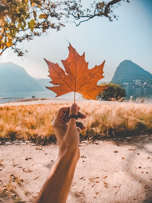 Dried Maple Leaf Held by Person