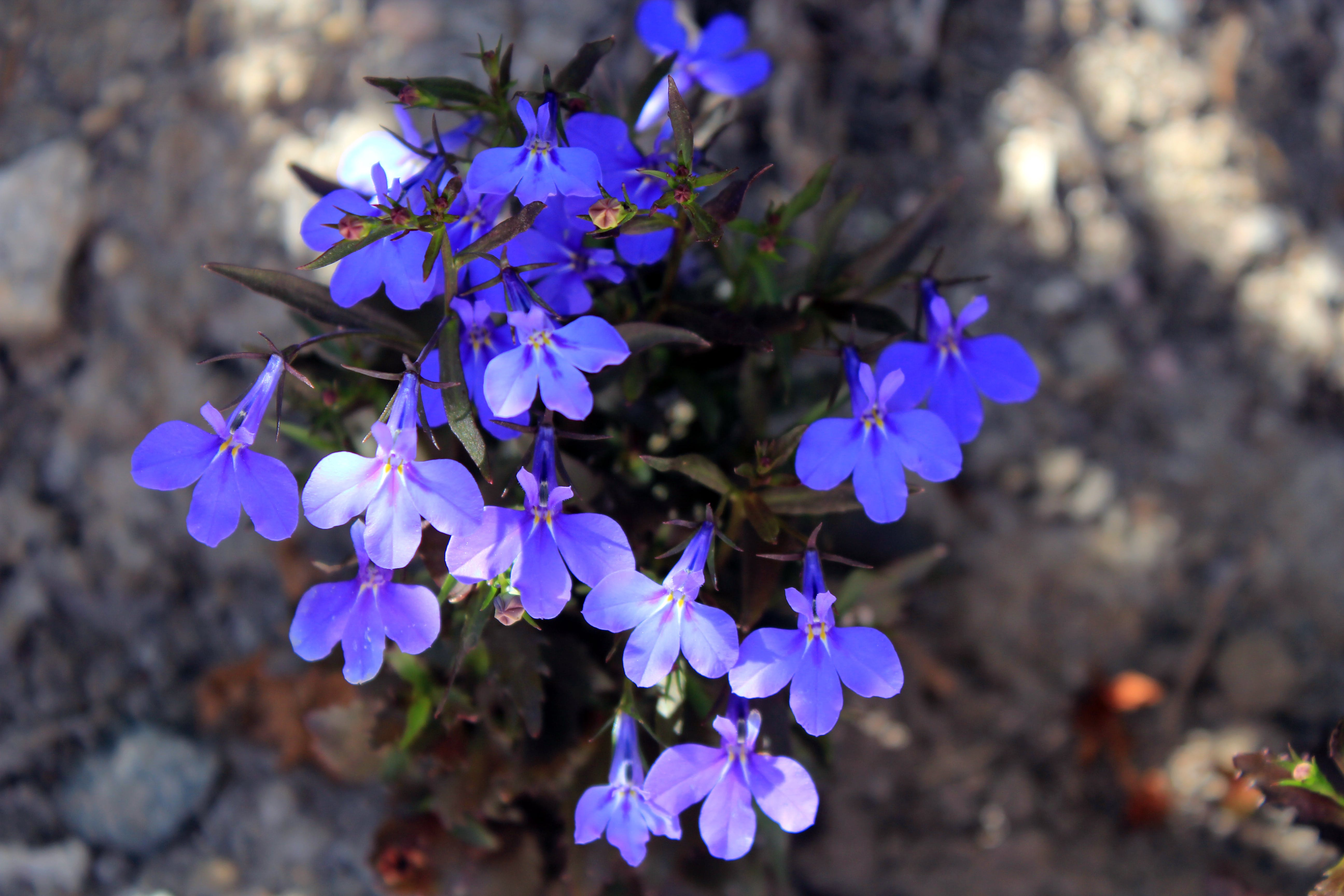 Free stock photo of blue flowers