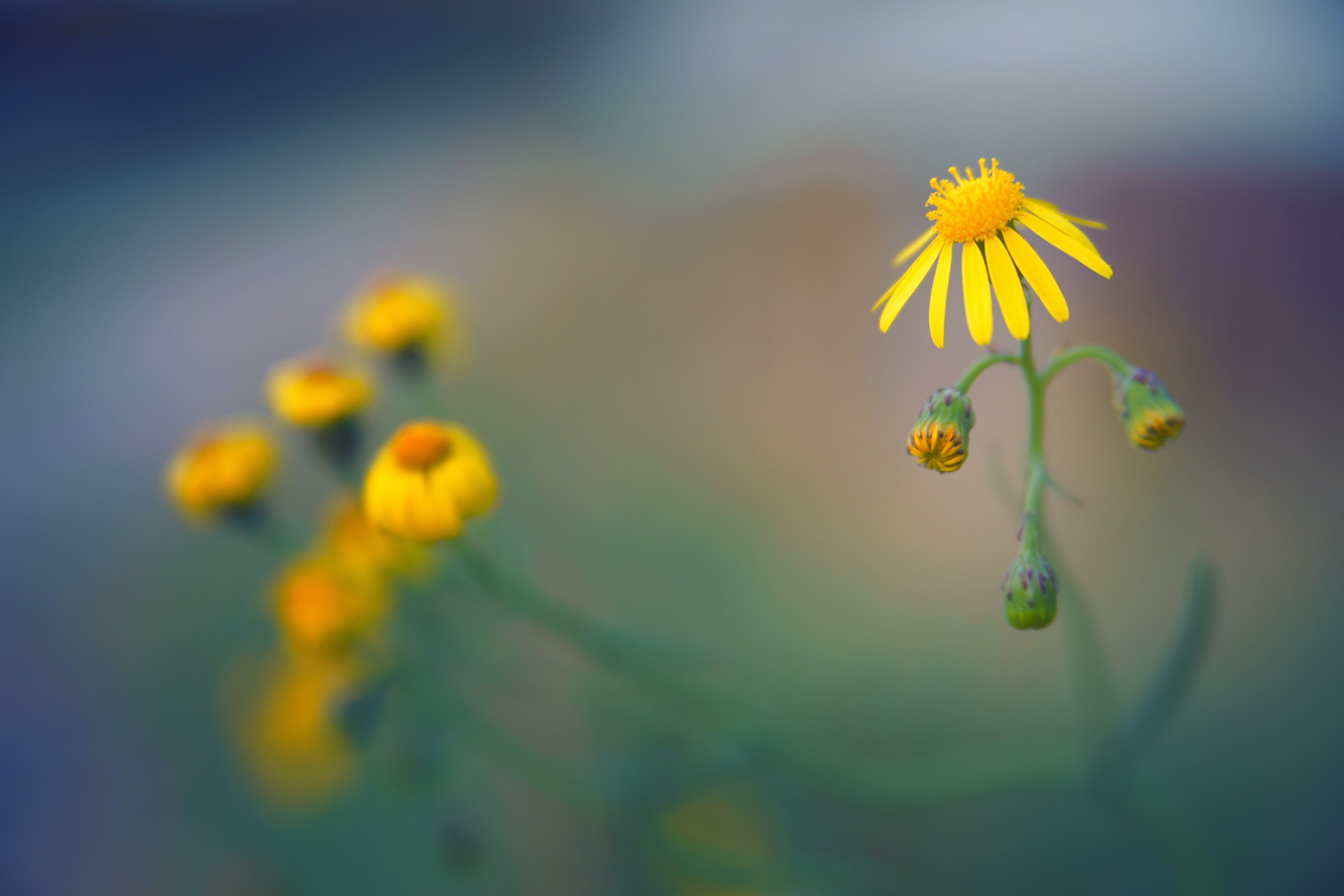 Close-up Photo of Yellow Aster Flower