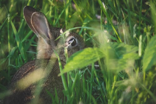 Free stock photo of #ears, #Rabbit