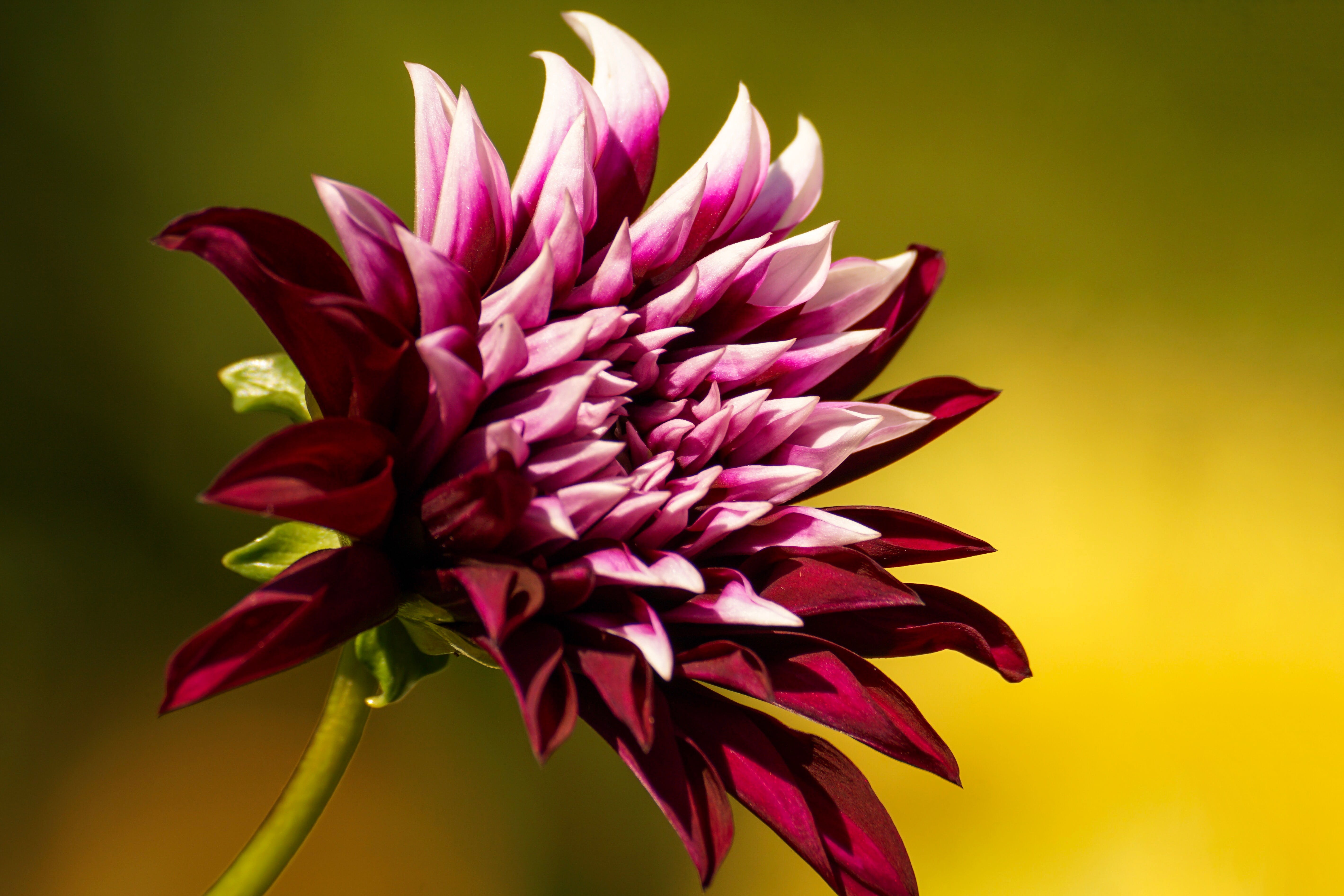 Close-up Photo of Purple Chrysanthemum