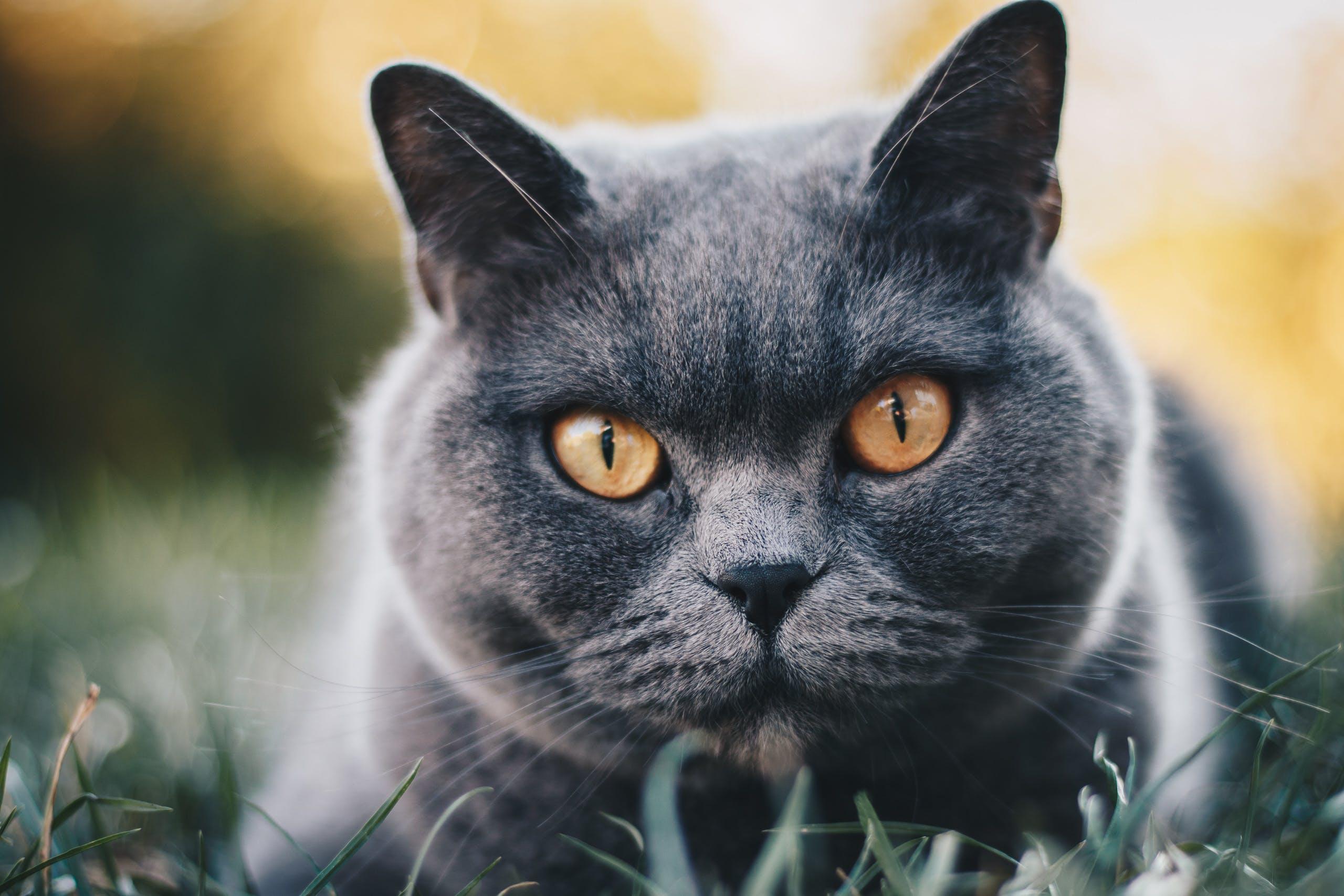 Základová fotografie zdarma na téma britská krátkosrstá kočka, domácí mazlíček, domácí zvíře, fotografování zvířat