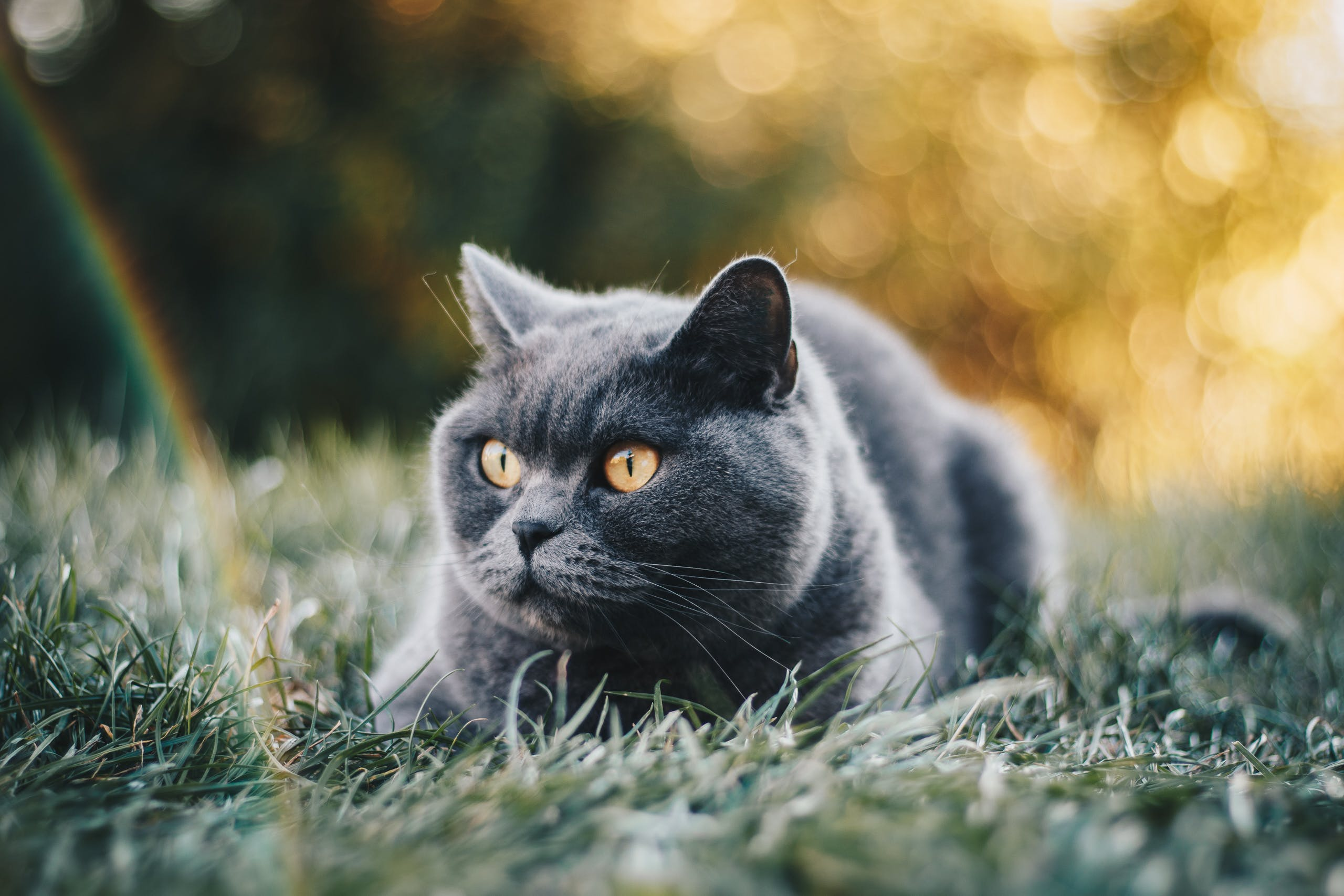 Short-coated Grey Cat Lying On Green Grass Field