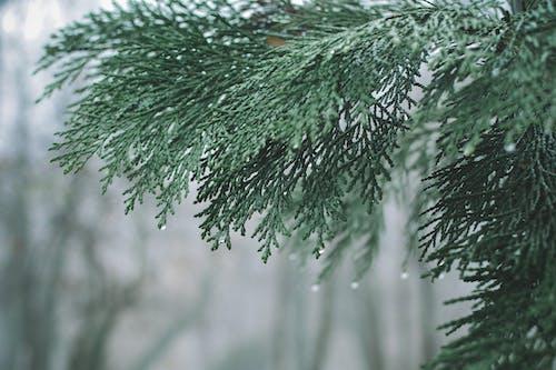 ağaç, çam ağacı, dal, ıslak içeren Ücretsiz stok fotoğraf