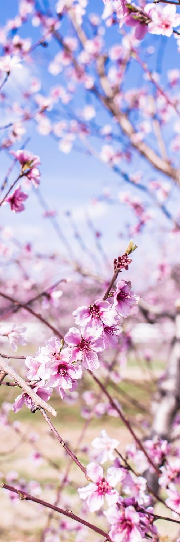 Free stock photo of peach blossom