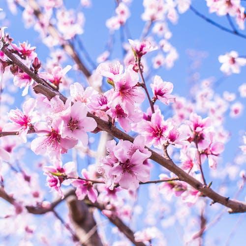 Fotobanka sbezplatnými fotkami na tému jarné kvety, kvet ovocného stromu, kvitnutie, marec