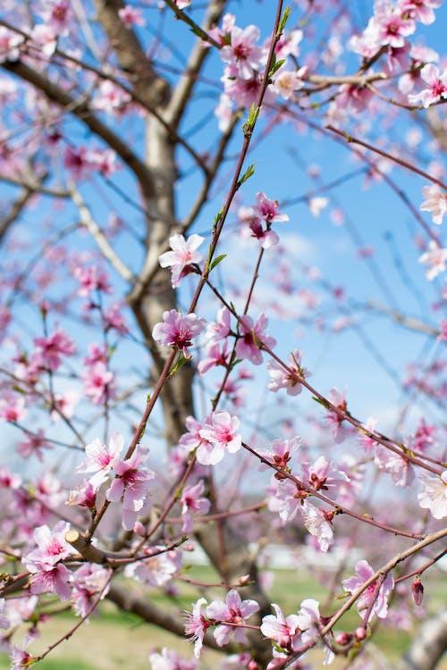 Fotobanka sbezplatnými fotkami na tému broskyňový kvet